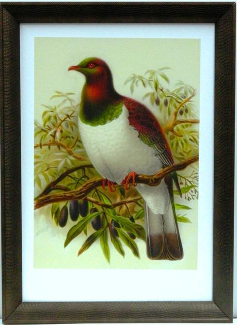NZ Native Wood Pigeon