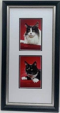Black & White maine coon cats
