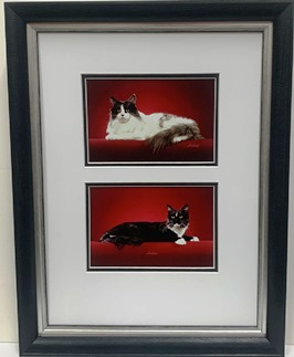 Sitting Black & White Maine coon cats